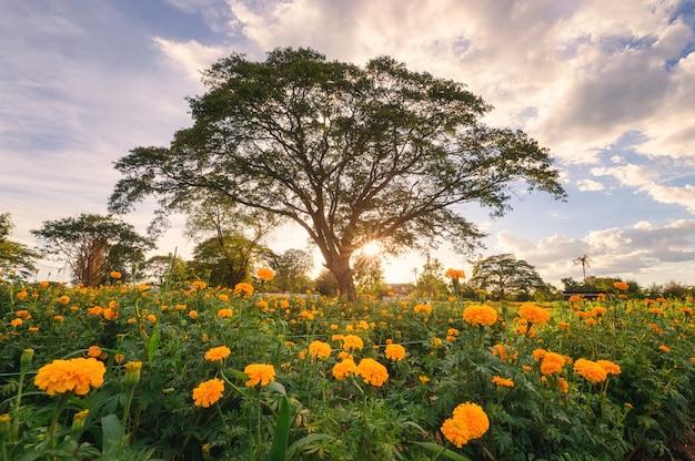 Gigante, chuva, árvore, em, flor, marigold, jardim, em, noite Foto Premium