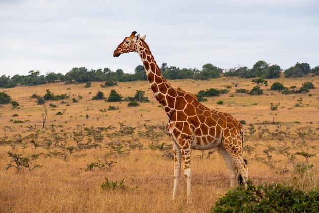 Girafa bonita no meio da selva no quênia, nairobi, samburu Foto gratuita