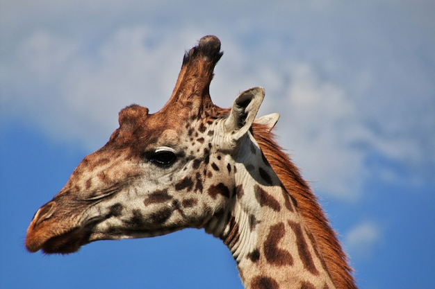 Girafa no safari no quênia e na tanzânia, áfrica Foto Premium