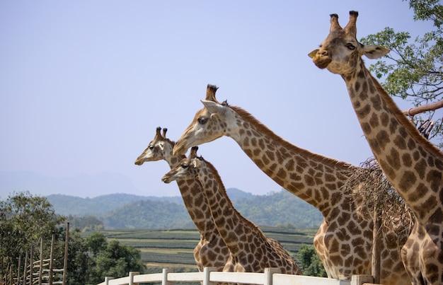 Girafa no zoológico nacional, tailândia Foto Premium