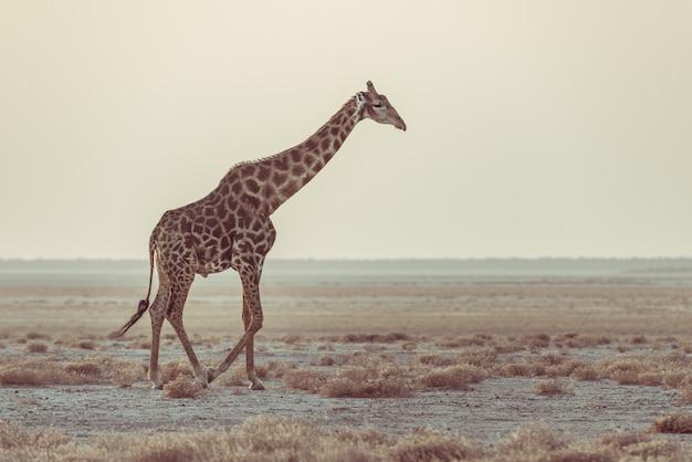 Girafa que anda no arbusto na bandeja do deserto no por do sol. safari da vida selvagem no parque nacional etosha, o principal destino de viagem na namíbia, áfrica. vista de perfil, luz suave cênica. Foto Premium