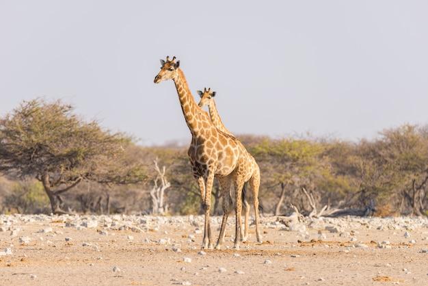 Girafa que anda no arbusto na bandeja do deserto. Foto Premium