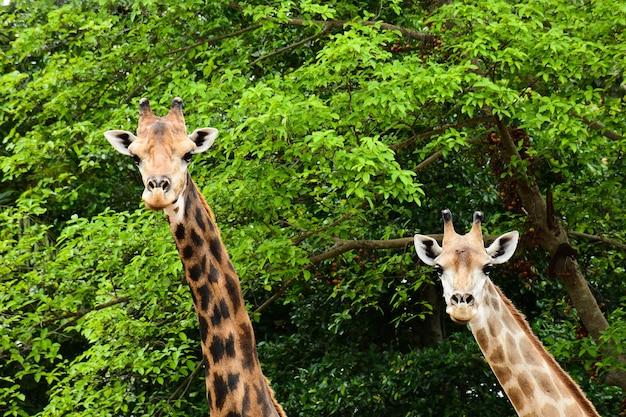 Girafa Foto Premium