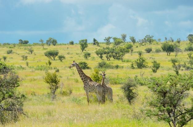 Girafas na savana, parque nacional de kruger, áfrica do sul Foto Premium