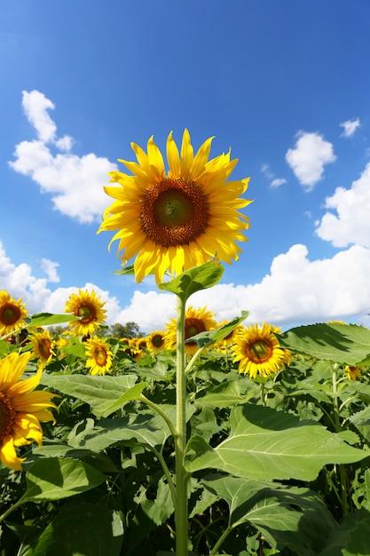 Girassóis estão florescendo e luz do sol em um dia claro. Foto Premium