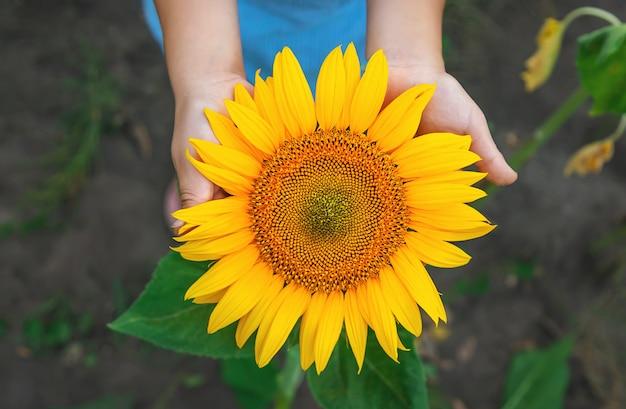 Girassóis florescendo nas mãos Foto Premium