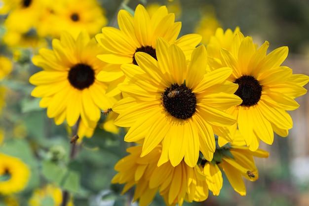 Girassol bonito em campo no dia ensolarado de primavera Foto Premium