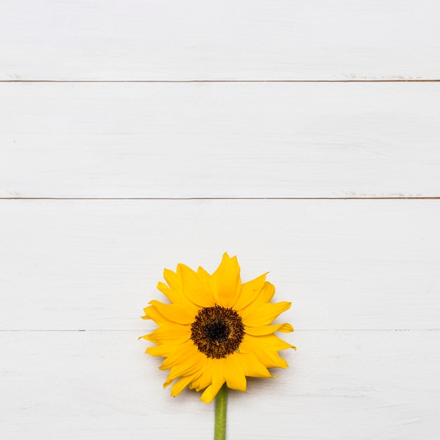 Girassol brilhante com grande cabeça exuberante amarelo Foto Premium