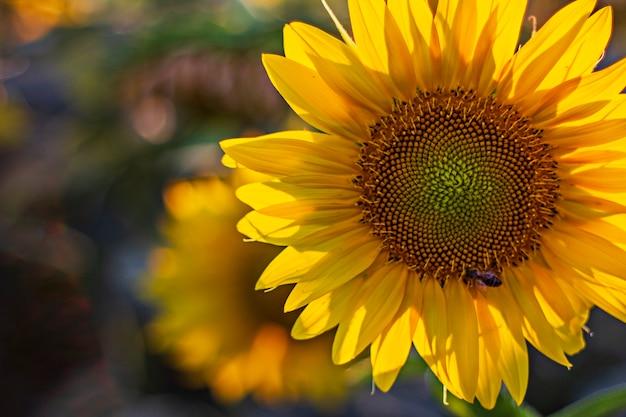 Girassol com vespa coletando néctar Foto Premium