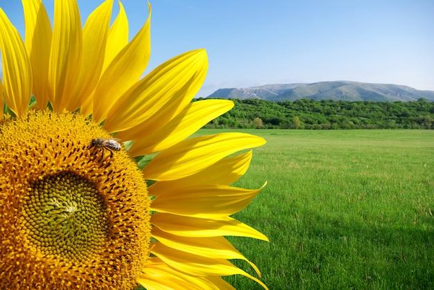 Girassol e belo prado Foto Premium