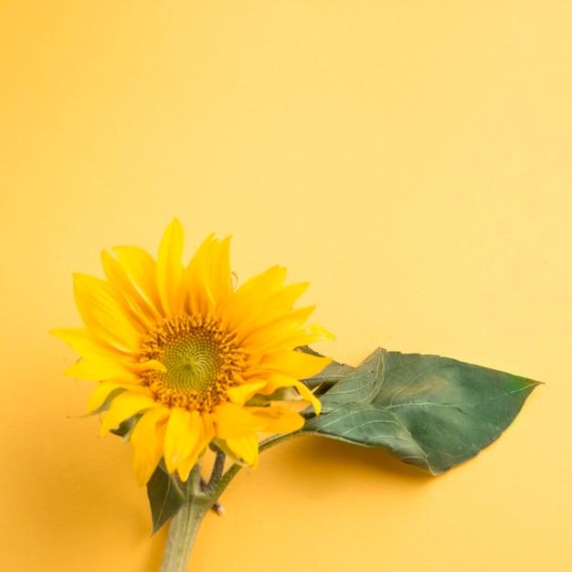 Girassol em fundo amarelo Foto gratuita