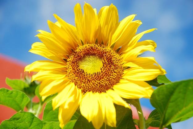 Girassol florescendo no fundo do céu azul Foto Premium