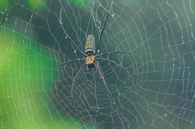 Golden orb-weaver spider faça malha de fibras grandes ao longo da linha vertical entre as árvores. a fêmea tem 40-50 mm de tamanho Foto Premium