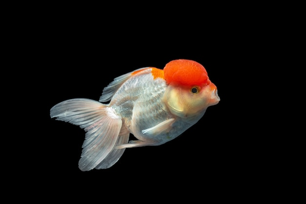 Goldfish de oranda isolado no blackground Foto Premium