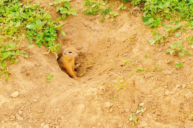 Gopher peludo bonito espreita para fora do buraco no chão em campo verde com grama na noite ensolarada. Foto Premium