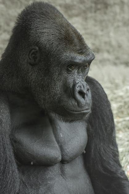 Gorila olhando à distância Foto gratuita