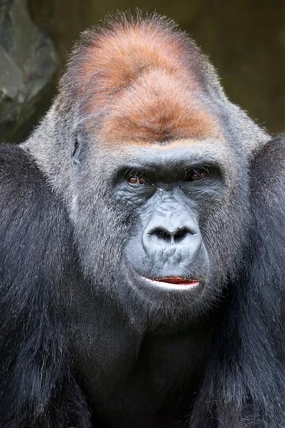 Gorila, um retrato Foto Premium