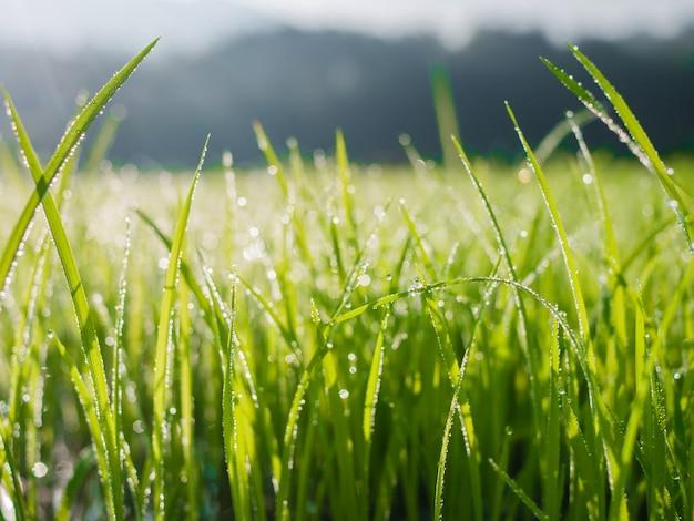 Gotas de água na folha de grama verde pela manhã com desfoque bokeh Foto Premium