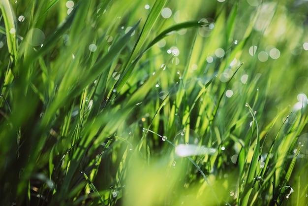 Gotas de orvalho na grama verde em uma manhã ensolarada. fundo de textura floral natural. foco seletivo, profundidade de campo rasa. bokeh natural bonito. pureza e frescura da natureza Foto Premium