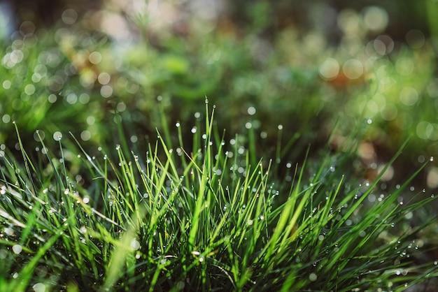 Gotas de orvalho na grama verde em uma manhã ensolarada. fundo de textura floral natural. foco seletivo, profundidade de campo rasa. bokeh natural bonito. Foto Premium