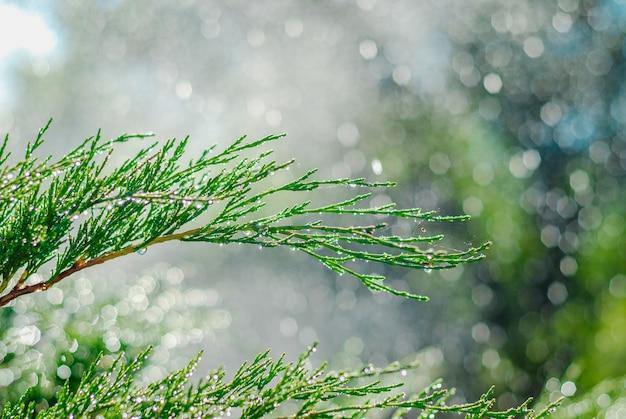 Gotas de orvalho no zimbro. ramos verdes do zimbro no sol do verão. Foto Premium
