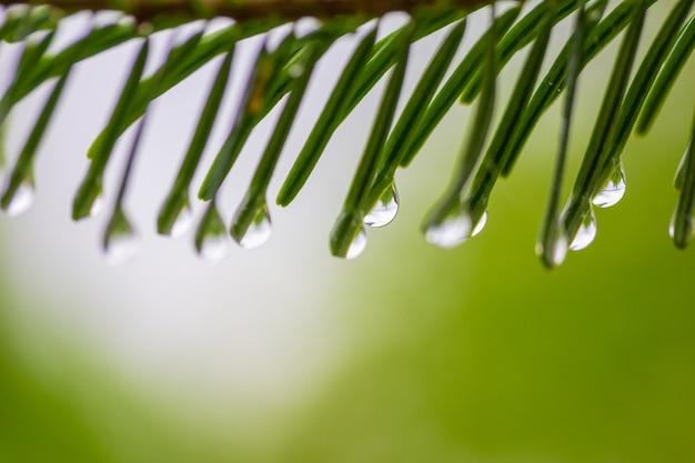 Gotas de verão ou chuva de primavera em agulhas de natal em um verde com luz Foto Premium