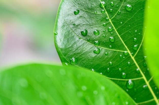 Gotas do close up da água na folha verde, a opinião da natureza no jardim no verão. Foto Premium