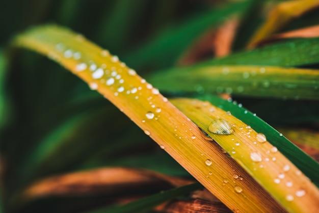Grama verde e amarelada brilhante vívida bonita com close-up das gotas de orvalho com espaço da cópia Foto Premium