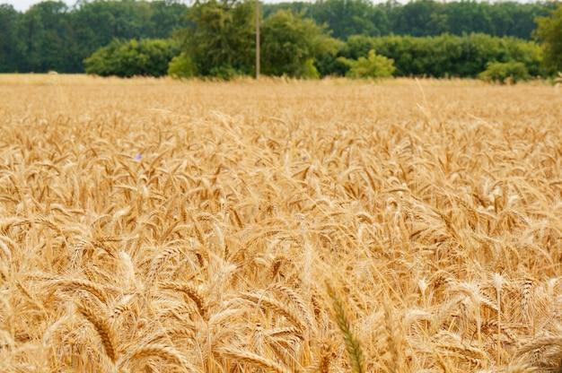 Grande campo de trigo com colheita durante o dia Foto gratuita