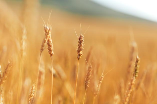 Grande campo de trigo maduro sob o céu aberto em dia ensolarado Foto Premium
