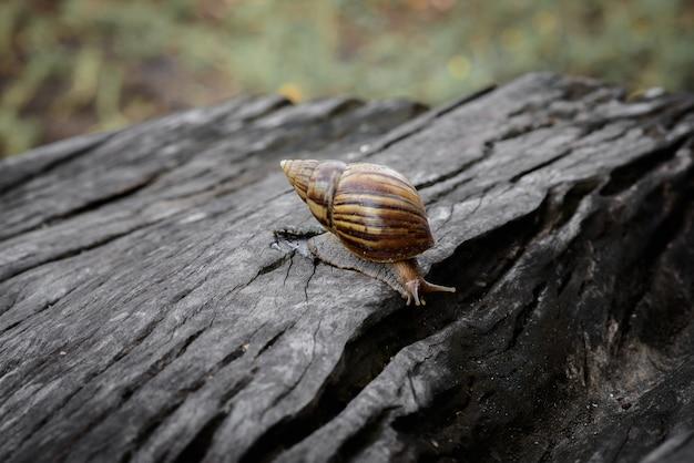 Grande caracol no shell rastejando na madeira Foto Premium
