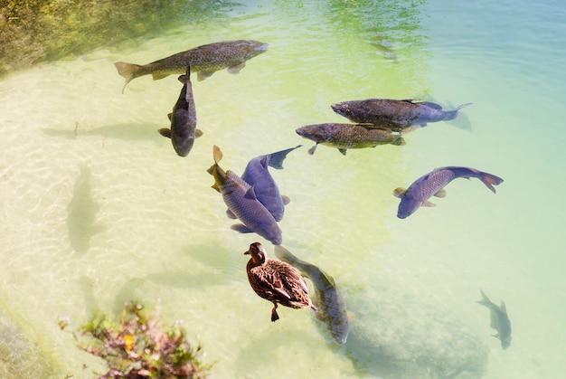 Grande carpa flutuando no lago e pato Foto Premium