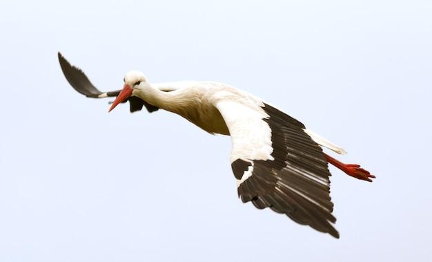 grande cegonha voando baixar fotos premium