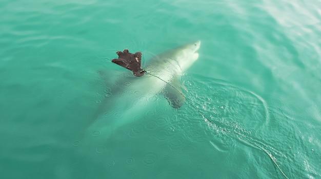 Grande tubarão branco que persegue o chamariz do selo Foto gratuita