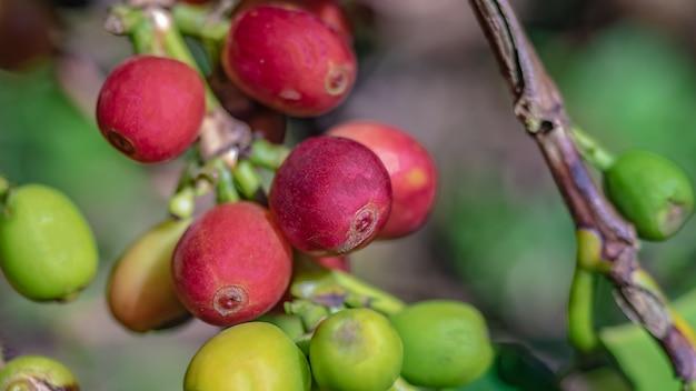 Grão de café fresco na árvore Foto Premium