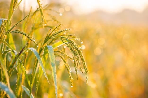 Grãos de arroz em campos de arroz Foto Premium