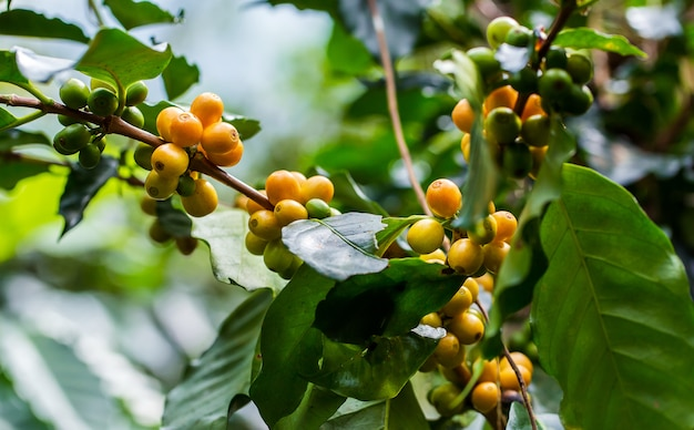 Grãos de café amadurecendo na árvore no norte da tailândia Foto Premium