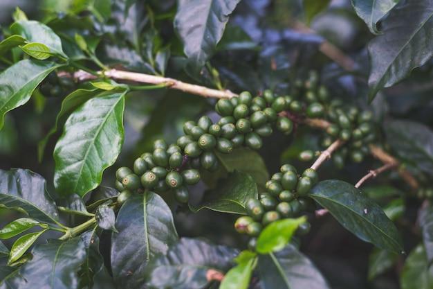 Grãos de café em uma árvore Foto Premium