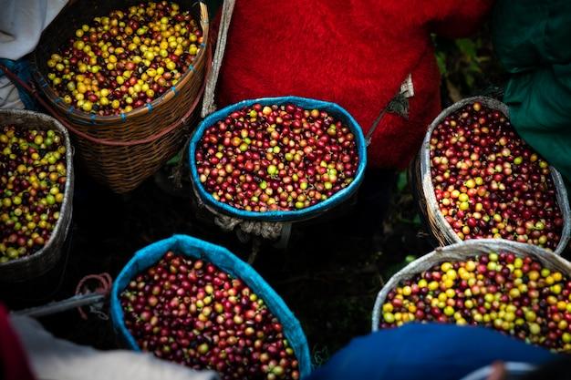 Grãos de café frescos crus da terra agrícola na cesta do agricultor Foto Premium