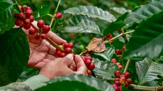 Grãos de café na árvore Foto Premium