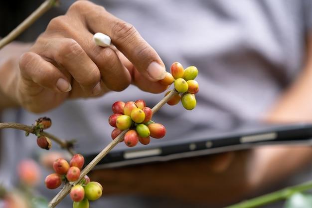 Grãos de café na fazenda Foto Premium