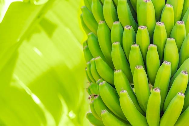 Grenn bananas na palma da mão. cultivo de frutas na plantação da ilha de tenerife. folhas verdes novas da banana com uma palmeira na profundidade de campo rasa. fechar-se. Foto gratuita