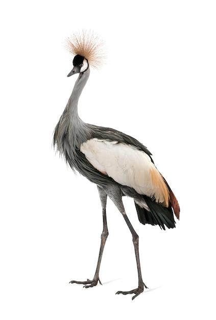 Grey crowned crane - balearica regulorum em um branco isolado Foto Premium