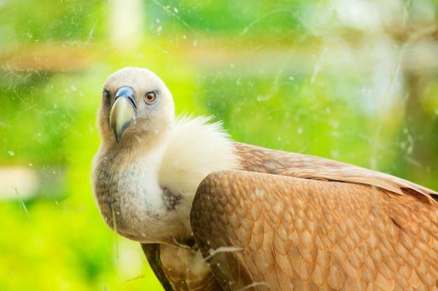 Griffon vulture Foto Premium