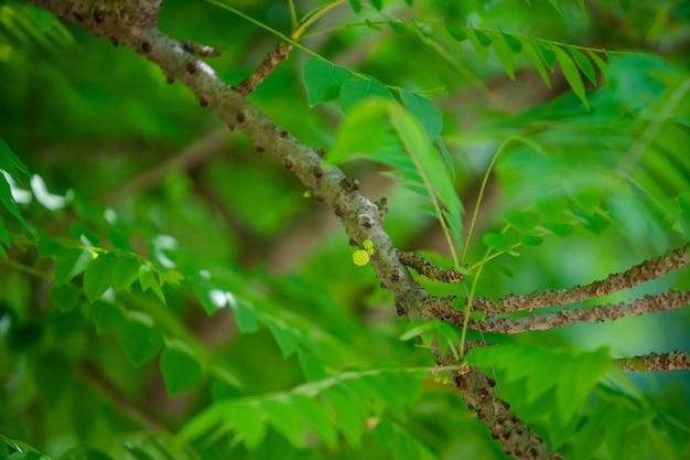 Groselha estrela na árvore Foto Premium