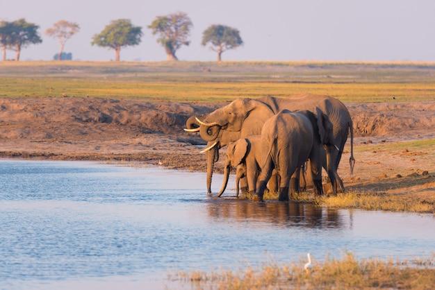 Grupo de água potável de elefantes africanos de chobe river no por do sol. o safari dos animais selvagens e o barco cruzam no parque nacional de chobe, beira de namíbia botswana, áfrica. Foto Premium