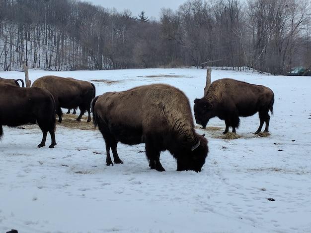 Grupo de bisões limpando e pastando em um terreno coberto de neve com árvores sem folhas Foto gratuita