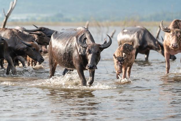 Grupo de búfalos em um rio Foto gratuita