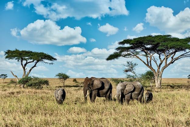 Grupo de elefantes caminhando na grama seca no deserto Foto gratuita