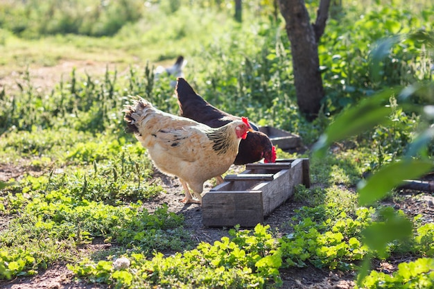Grupo de galinhas domésticas comendo grãos Foto gratuita